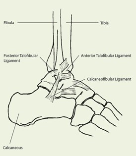 Bones and ligaments of an ankle anatomy